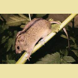 Мышовка